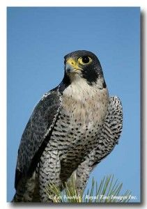 Pictures of Peregrine Falcons