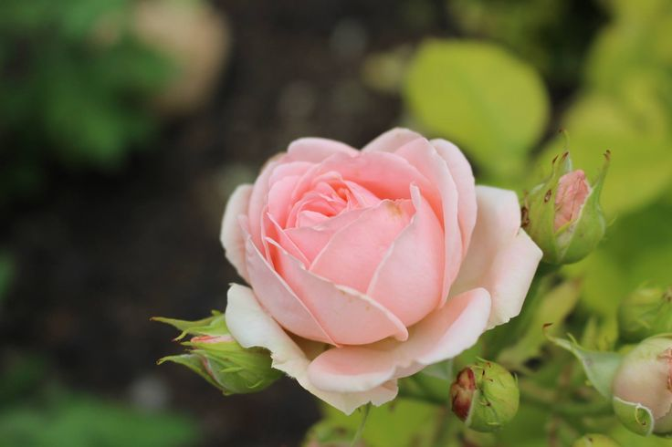 rose/růže