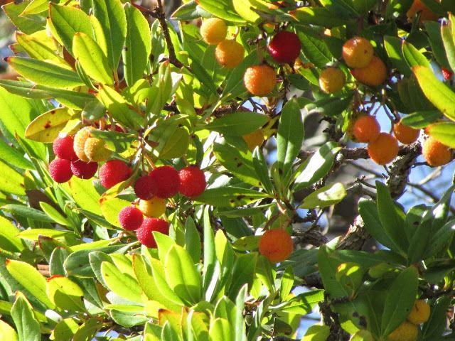 Wyspa Rodos : Drzewo truskawkowe