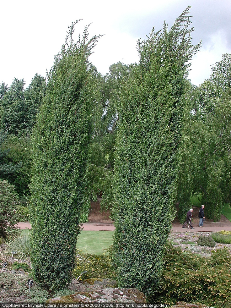 juniperus communis 39 hibernica 39 sympathetic shrubs. Black Bedroom Furniture Sets. Home Design Ideas