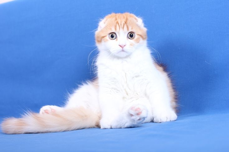 Scottish Fold - SO CUTE!