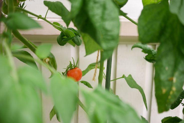 Tomatoes tuulinenpaiva.fi
