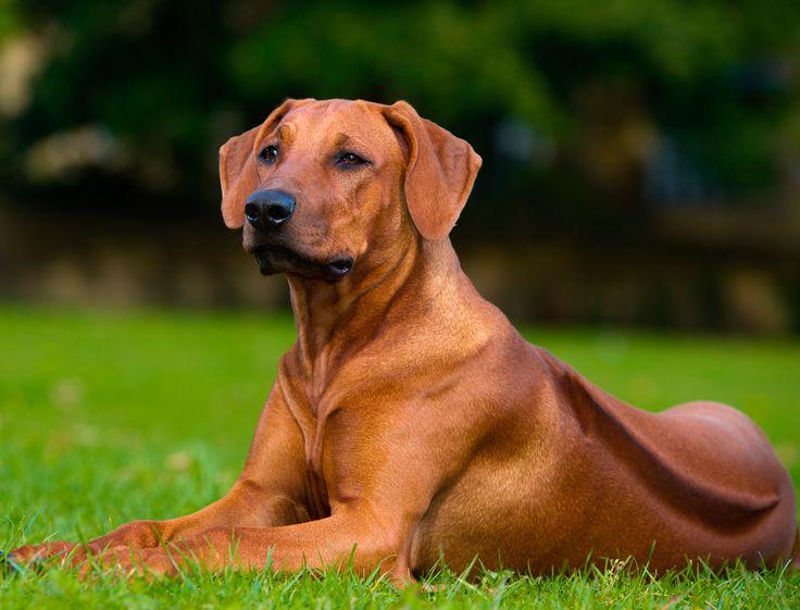 Raça de cachorro: Leão da Rodésia – Rhodesian ou Rodesia. AMEI ESSA RAÇA!  Muito linda.