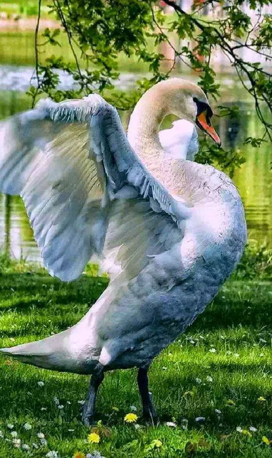 Swan - Stretching It's Wings