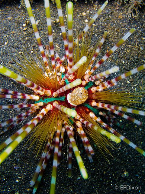"""""""Pixie stix"""" sea urchin. Mother nature loves to paint with colors. www.sheranmattson.com"""