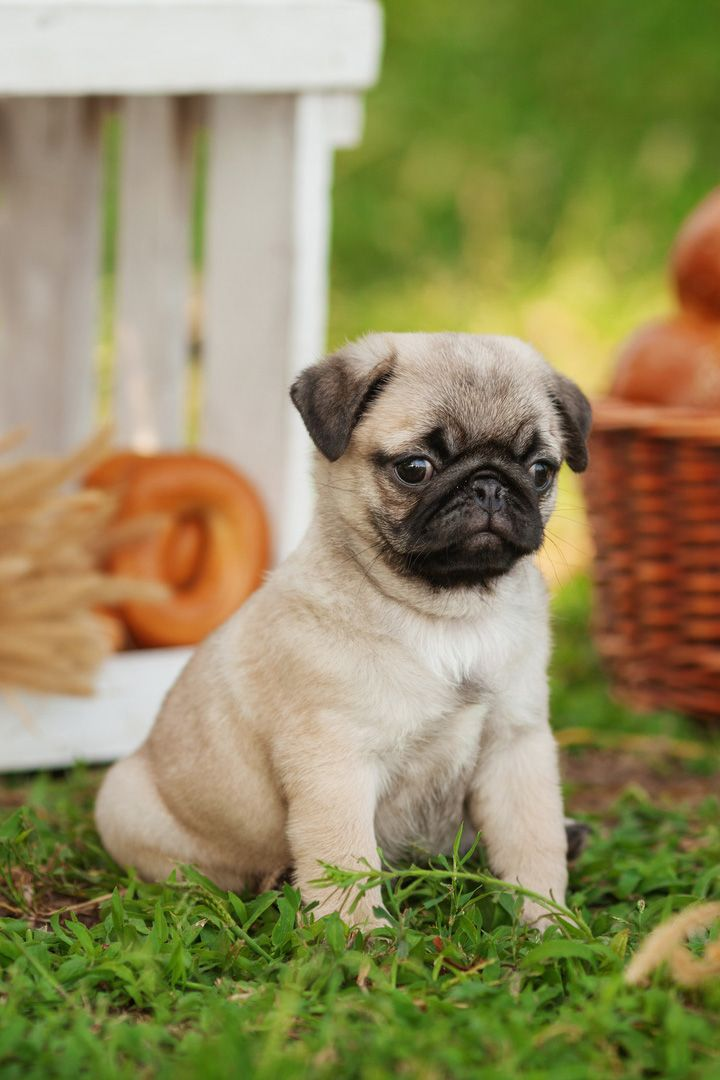 Cute Puppy Pug Standing On Grass Dengan Gambar