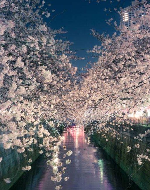 Le printemps au Japon : le temps des cerisiers en fleurs.