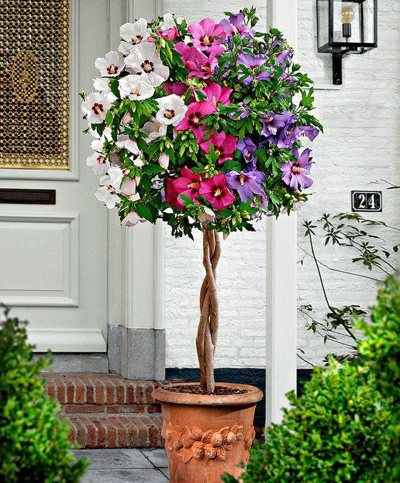 Driekleurige stam-hibiscus  De driekleurige stam-hibiscus die wij u hier aanbieden is werkelijk een schoonheid! De grote paarse roze en witte bloemen die boven de gevlochten stam tot bloei komen zijn van een grote schoonheid. De driekleurige hibiscus syriacus is een ware blikvanger. de hibiscus is een zomer- en najaarsbloeier en is absoluut de moeite waard. Geweldig op het terras balkon of in de tuin. Stamhoogte ca. 60 cm.  EUR 36.50  Meer informatie