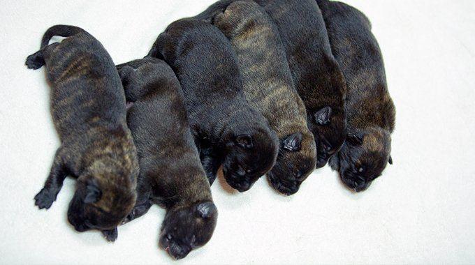 KNPV Dutch Shepherd Puppies