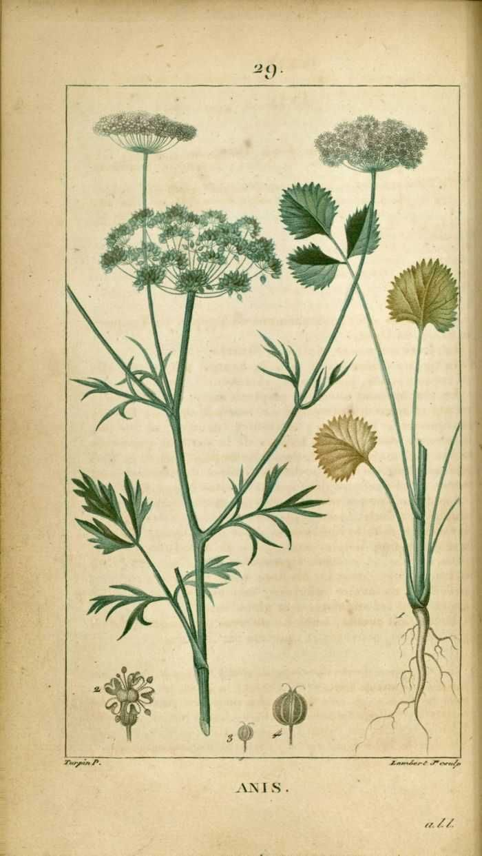 img/dessins-gravures de plantes medicinales/anis, boucage a fruits suaves.jpg