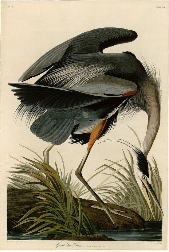 182 Best Images About Art Of John James Audubon On