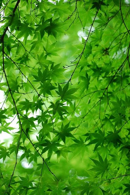 """""""green maple leaves with the sun shining through"""" - for the group """"Green Day"""" board in my 1st account"""
