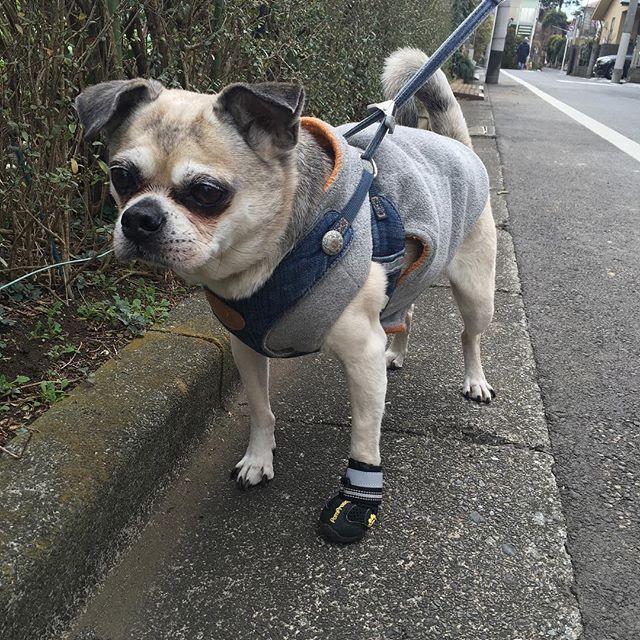 おっしゃん氏、ヘルニアにより左あんよを少し擦って歩くので爪先から出血防止のためスニーカー装着❤︎ #愛犬 #わんこグッズ #変性性脊髄症