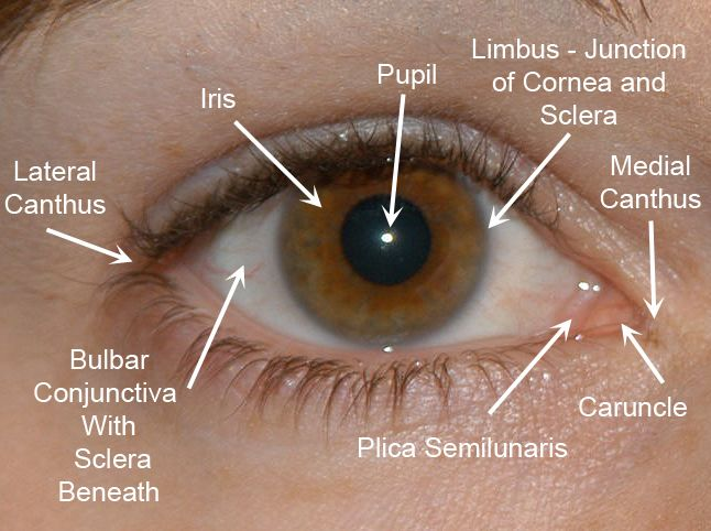 34 Best Images About Eye Anatomy On Pinterest