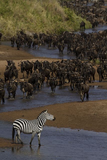 Zebra and wildebeest during the great migration, Seregenti, Tanzania, via Flickr.: