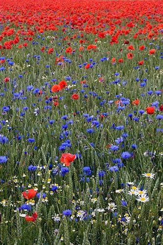 midsommar blommor