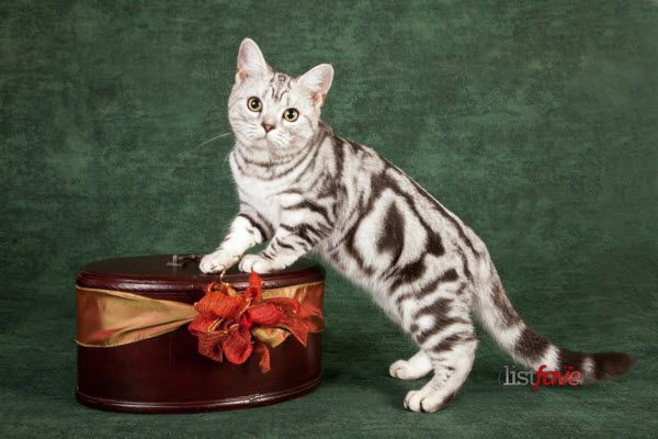 cool Top 10 Pedigree Cat Breeds
