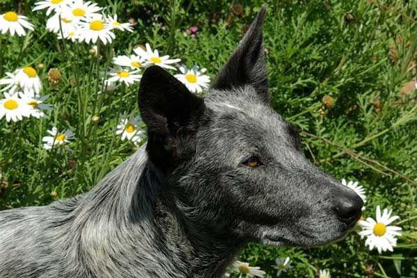 Stumpy Tail Australian Cattle Dog | Svět pejsků - psí plemena, psí rasy, rasy psů, kokršpaněl ...