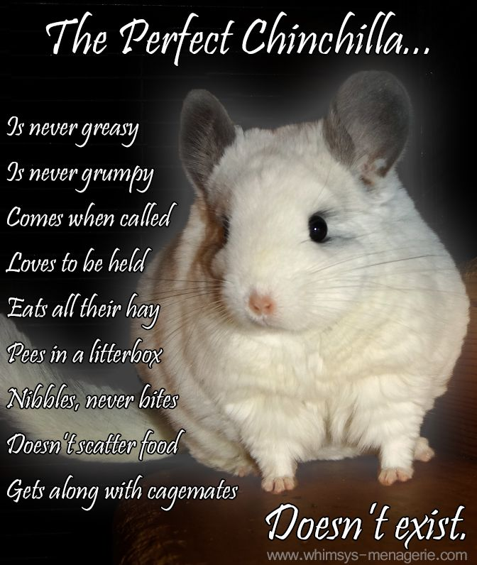 chinchilla the chinchilla Everything you need to know about looking after your chinchilla and giving them the best possible life guaranteed to answer all your questions, this book is a must have for anybody passionate about owning chinchillas it covers care, health, diet, housing, food, and breeding plus how (and where) to select your.
