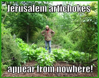 Jerusalem artichokes are easy to grow in your garden and they are delicious both raw and cooked. There are two big problems with them, though: When you are growing them, they try to take over the universe. Jerusalem artichokes are famous for the flatulence they can produce. I spell out solutions for you. (image from flickr)