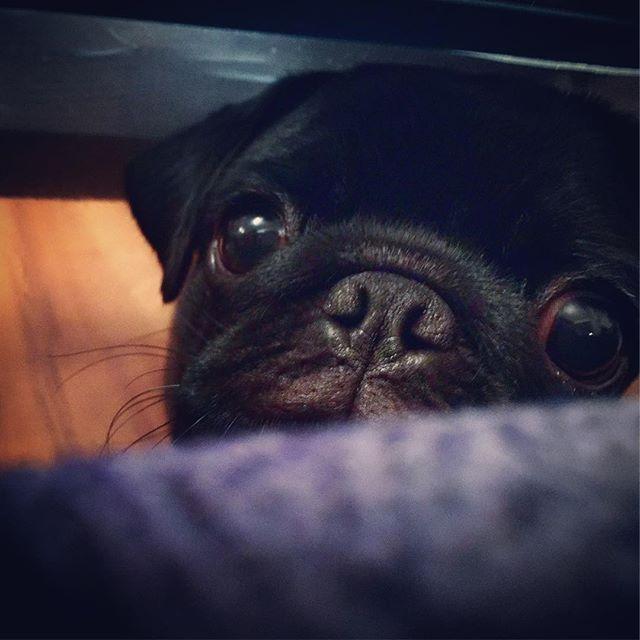 【pag.sakurako】さんのInstagramをピンしています。 《#pag#パグ#sakura#sakurako#dog#犬#桜#櫻子#黒パグ#仔パグ #避妊手術後 #のぞき見#ちらリズム#すきま#見つめる 狭いとこからこんにちは。おやつ下さい。の訴えの目》