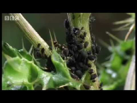 Crazy Ant Farmers - Weird Nature - BBC animals - Ant-Aphid Symbiotic Relationship