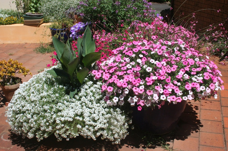 The Happitunia Bubblegum series of Petunias are hard to beat for reliable colour performance