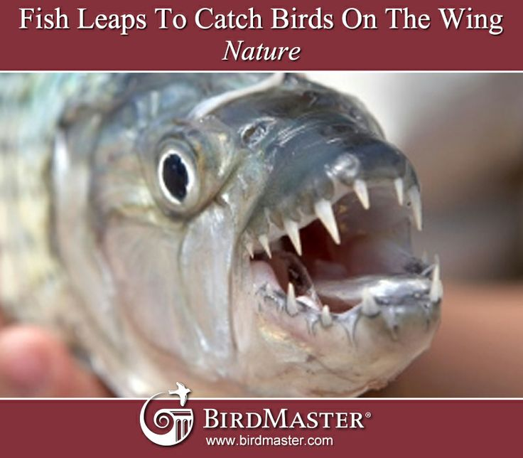 Fish Leaps To Catch Birds On The Wing | Nature | http://www.nature.com/news/video-fish-leaps-to-catch-birds-on-the-wing-1.14496
