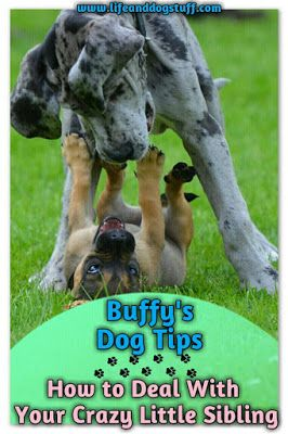 Check out our new blog post! How to Deal With Your Crazy Little Sibling - Buffy's Dog Tips #dogs #humor