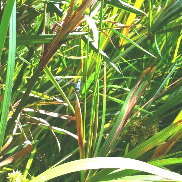 Hidden dragonfly: Hidden Dragonfly