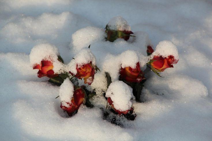 fagyott rózsa