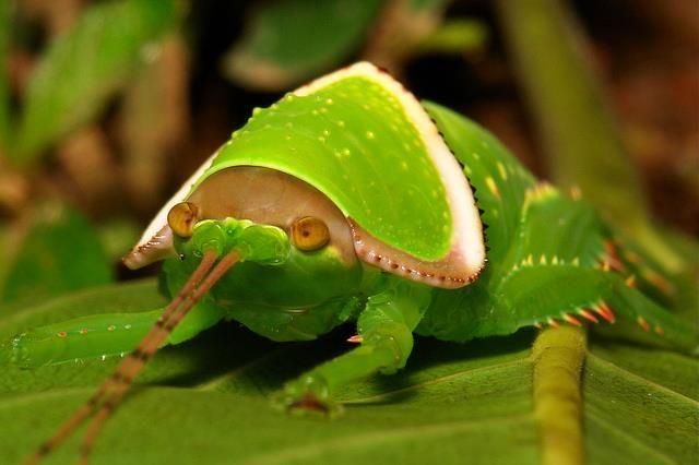 Giant False Leaf Katydid Nymph (Pseudophyllus titan, Pseudophyllinae, Tettigoniidae)  