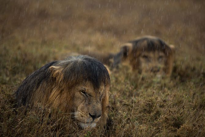 Oh look how grumpy the soggy kittehs look... Serengeti | Photograph by Michael Nichols