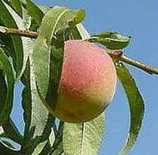 How to grow peach trees from a pit.  Keeps seed in pit and refrigerate til mid-winter.