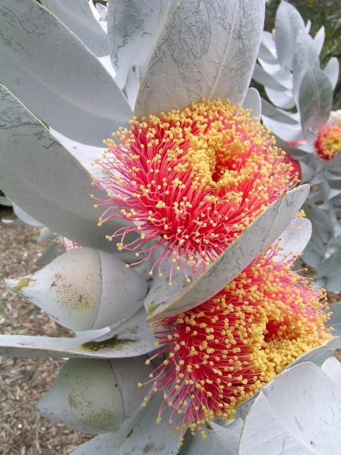 What sheer beauty - Eucalyptus macrocarpa