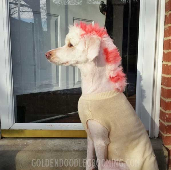 Haircuts For Goldendoodles Pictures: Best 25+ Goldendoodle Haircuts Ideas On Pinterest