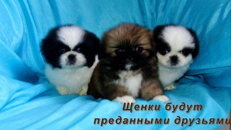 ЩЕНКИ ПЕКИНЕСА 1,5 мес