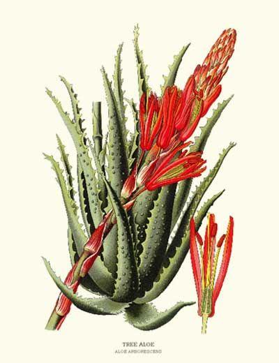Tree Aloe Flower Botanical Art Print