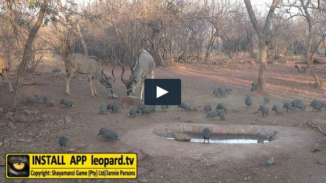 There are 9 subspecies of the helmeted guineafowl. 2 of these subspecies are in South Africa. There is an interesting sex difference in adult birds because the female has flat feet and walks with a hunched posture while the male walks upright on his toes. Read more on the leopard.tv website! #leopardtv #wildlife #funfacts