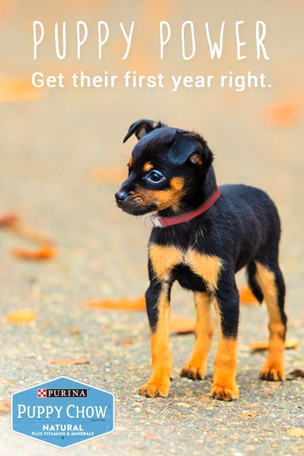 Growing puppies play, run and love big. They need all the nutrients they can get - especially at this critical and developmental life stage. Make sure you're taking care of them just as much as they're taking care of you by giving them Purina Puppy Chow – formulated to provide the nutrition your growing puppy needs.