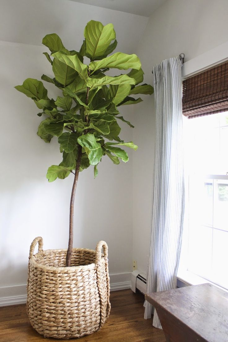 Fiddle leaf fig tree in basket.