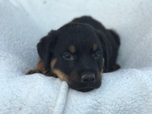 Rottweiler puppy for sale in EAST EARL, PA. ADN-44379 on PuppyFinder.com Gender: Male. Age: 9 Weeks Old