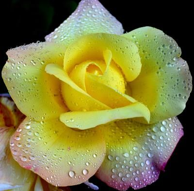 Blomsterfotografi