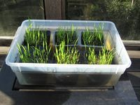 Here is a fun activity for kids who want to see and understand how rice is grown and produced. For this they don't have to own an agricultural land and tile it or take a formal training in farming.…