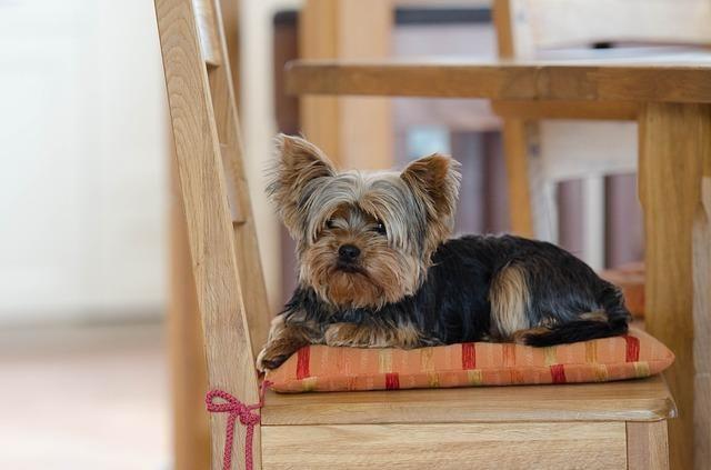 ¿Por qué mi yorkshire tirita?. El yorkshire terrier es un perro de tamaño toy o mini, una de las características más apreciadas para un ambiente urbano. Si has observado a tu yorkshire terrier...