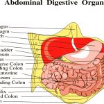 Abdominal muscles picture