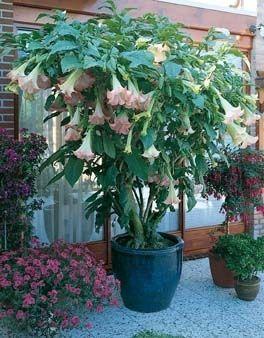 Engelstrompete (Brugmansia) rosa