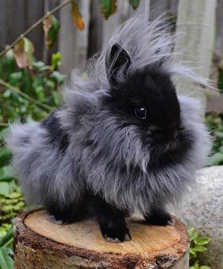 This is ridiculously adorable!! He looks JUST LIKE SAM!!! <3 <3 I need one....  Double-Maned Lionhead Rabbit Black