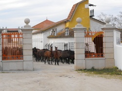 Picture   Lusitano horses at the Alter Real Stud Farm and the Coudelaria de Alter do Chao from my blog at www.mypassionforportugal.com