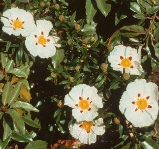 Cisteroos (Zonneroosje) etherische olie is zeer geschikt voor huidverzorgingsproducten bij rijpe huid en couperose.